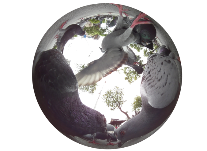 6pigeon_waiti_01001